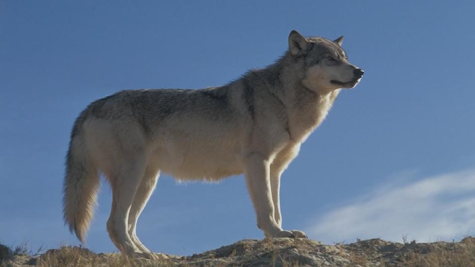 Image Le grand méchant loup ?